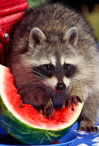 WLD 01 TK0005 02 © Kimball Stock Raccoon Eating Watermelon
