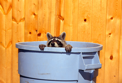 WLD 01 TK0006 01 © Kimball Stock Raccoon Peeking Out Of Blue Garbage Can