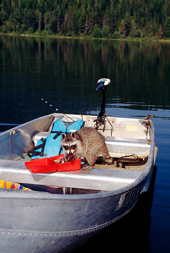 WLD 01 TK0007 01 © Kimball Stock Raccoon Having Lunch On Boat