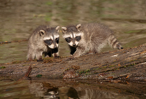 WLD 01 TL0002 01 © Kimball Stock Two Raccoons Sitting On Log