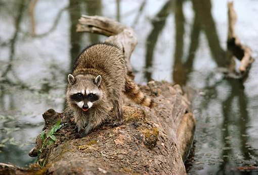 WLD 01 TL0004 01 © Kimball Stock Raccoon Facing Camera Standing On Log Fallen In River