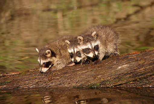 WLD 01 TL0005 01 © Kimball Stock Three Raccoon Kits Standing On Log Fallen In River