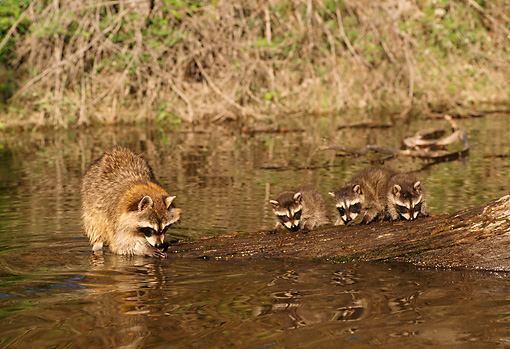 WLD 01 TL0006 01 © Kimball Stock Three Raccoon Kits And Mother Standing On Log Fallen In River