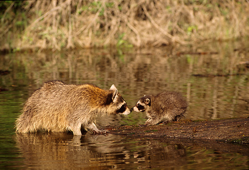 WLD 01 TL0007 01 © Kimball Stock Profile Of Raccoon Kit And Mother Standing Nose To Nose On Log Fallen In River