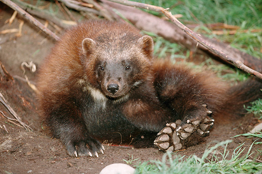 WLD 02 BA0001 01 © Kimball Stock Close-Up Of Wolverine Sitting On Forest Floor