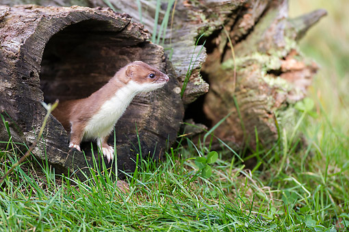 WLD 03 AC0002 01 © Kimball Stock Stoat (Also Called Short-Tailed Weasel Or Ermine) Sitting Alert On Log In Lower Saxony, Germany