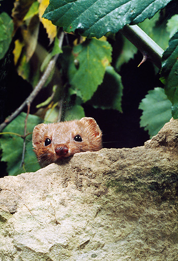 WLD 03 GL0001 01 © Kimball Stock Least Weasel Peeking Out From Behind Rock