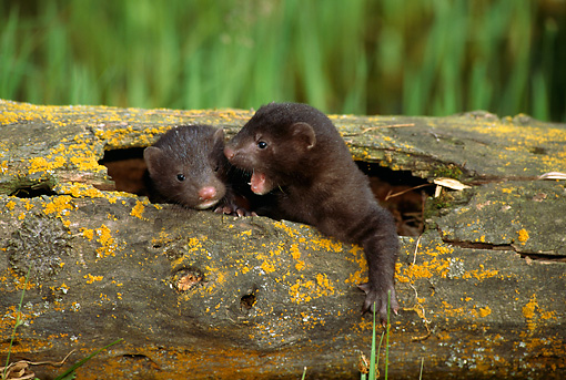 WLD 03 TK0001 01 © Kimball Stock Two Mink Young Huddling In Hollow-Log Den