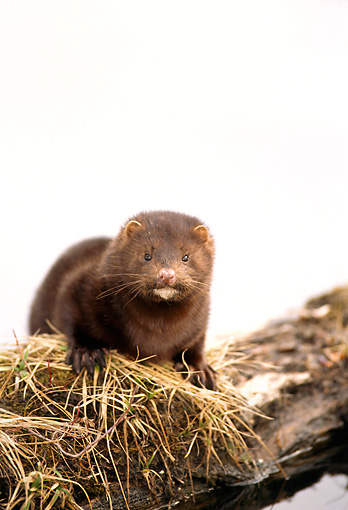 WLD 03 TL0001 01 © Kimball Stock Portrait Of Mink Standing On Log Half-submerged In Water