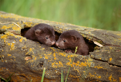 WLD 03 TL0002 01 © Kimball Stock Two Mink Young Huddling In Hollow-Log Den