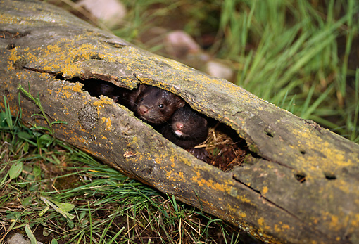WLD 03 TL0003 01 © Kimball Stock Two Mink Young Huddling In Hollow-Log Den