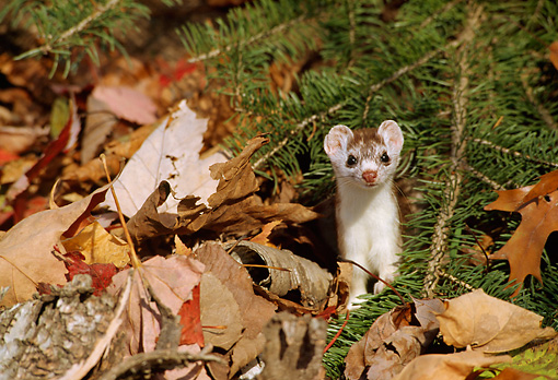 WLD 03 TL0004 01 © Kimball Stock Ermine Standing Facing Camera In Leaf Litter Under Pine Bough
