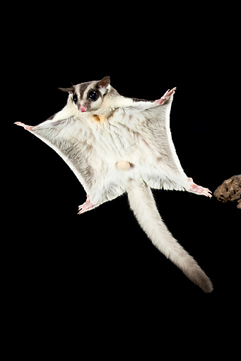 WLD 04 MC0001 01 © Kimball Stock Sugar Glider Gliding At Night