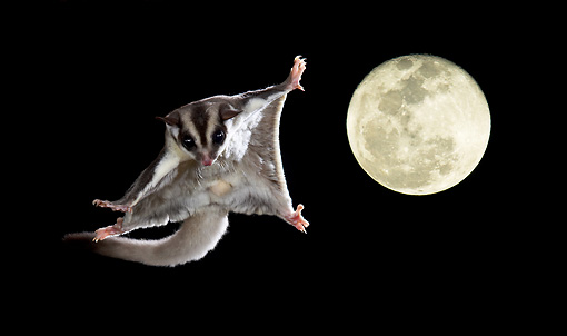 WLD 04 MC0002 01 © Kimball Stock Sugar Glider Gliding At Night With Full Moon In Background