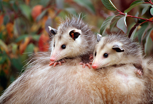 WLD 04 TK0001 01 © Kimball Stock Two Opossum Young Riding On Mother's Back