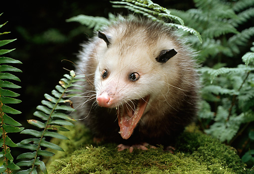 WLD 04 TK0002 01 © Kimball Stock Opossum Vocalizing On Moss-Covered Log By Ferns