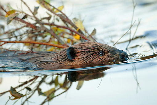 WLD 06 MC0004 01 © Kimball Stock American Beaver Swimming With Branches In Denali National Park, Alaska