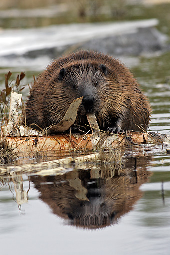 WLD 06 WF0003 01 © Kimball Stock European Beaver Eating Birch Bark On Lake
