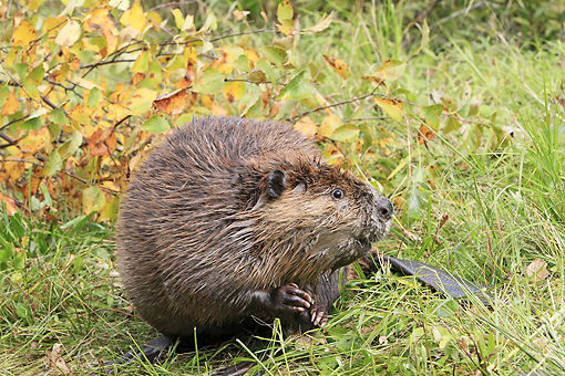 WLD 06 WF0008 01 © Kimball Stock American Beaver Sitting On Bank Next To Autumn Branches