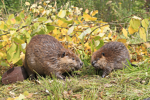 WLD 06 WF0010 01 © Kimball Stock American Beaver Adult And Young Sitting On Bank Next To Autumn Branches