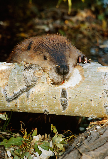 WLD 06 TL0003 01 © Kimball Stock Head Shot Of Beaver Gnawing Log