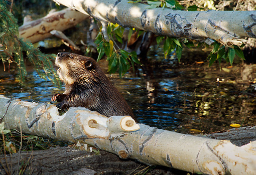 WLD 06 TL0005 01 © Kimball Stock Beaver Resting Against Gnawed Log In Water
