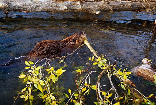 WLD 06 TL0006 01 © Kimball Stock Overhead Shot Of Beaver Swimming With Tree Branch In Mouth