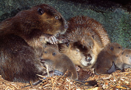 WLD 06 TL0008 01 © Kimball Stock Beaver Adults And Kits Resting Inside Den