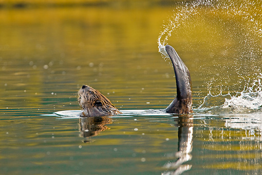 WLD 06 TL0009 01 © Kimball Stock Beaver Slapping Tail On Pond In Warning