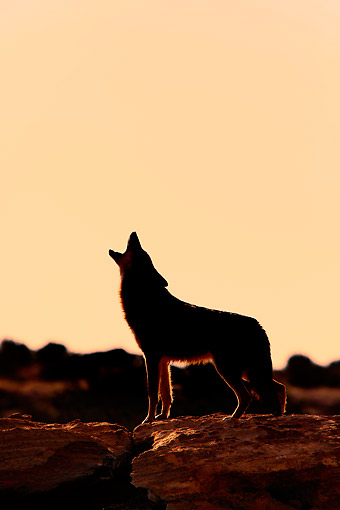 WLD 08 AC0003 01 © Kimball Stock Coyote Howling In The Early Evening, Monument Valley, Utah, USA