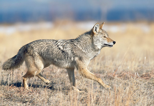 WLD 08 GL0005 01 © Kimball Stock Coyote Walking Through Dry Grass