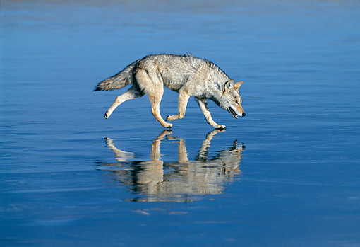 WLD 08 KH0003 01 © Kimball Stock Coyote Walking On Iced Lake
