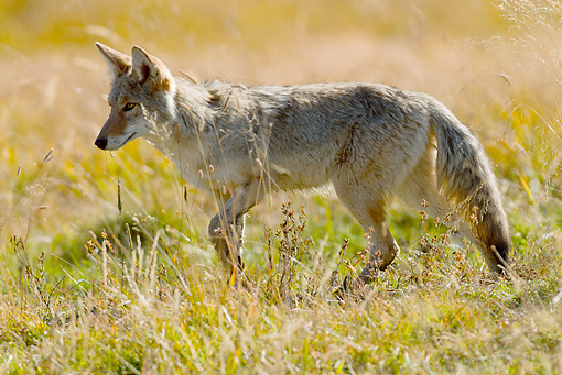 WLD 08 MC0004 01 © Kimball Stock Coyote Hunting In Meadow Yellowstone National Park