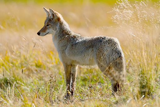 WLD 08 MC0005 01 © Kimball Stock Coyote Standing Alert In Meadow Yellowstone National Park