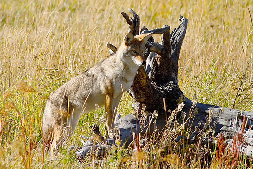 WLD 08 MC0007 01 © Kimball Stock Coyote Standing Alert On Log Yellowstone National Park