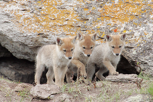WLD 08 RF0009 01 © Kimball Stock Three Coyote Pups Standing By Den