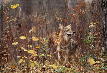 WLD 08 RK0009 02 © Kimball Stock Coyote Standing On Dirt With Old Leaves By Tall Dry Plants
