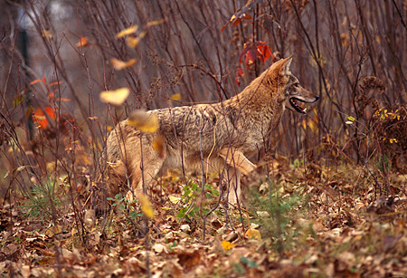 WLD 08 RK0016 02 © Kimball Stock Profile Shot Of Coyote Walking On Dirt With Leaves And Tall Branches