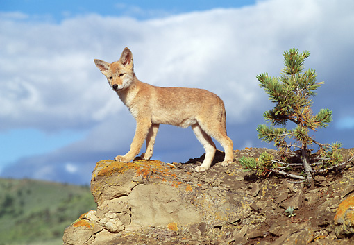 WLD 08 RW0001 01 © Kimball Stock Coyote Pup Standing On Rock Cliff By Small Tree