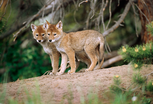 WLD 08 TL0002 01 © Kimball Stock Two Coyote Pups Standing On Dirt Mound Under Pine Tree