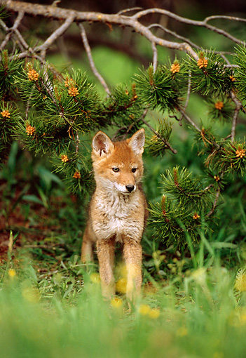 WLD 08 TL0004 01 © Kimball Stock Portrait Of Coyote Pup Standing Under Pine Bough