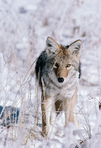 WLD 08 TL0009 01 © Kimball Stock Portrait Of Coyote Standing Facing Camera In Snowy Field