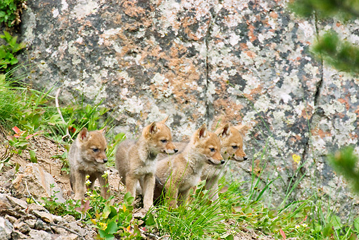 WLD 08 TL0011 01 © Kimball Stock Litter Of Coyote Pups Standing On Grass By Boulder