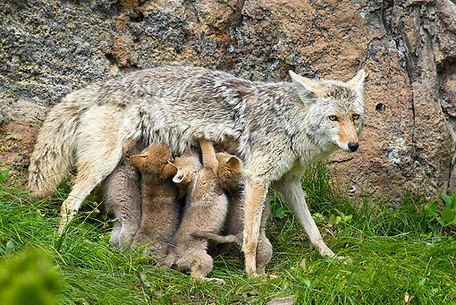 WLD 08 TL0012 01 © Kimball Stock Coyote Mother Feeding Litter Of Pups Standing On Grass By Boulder
