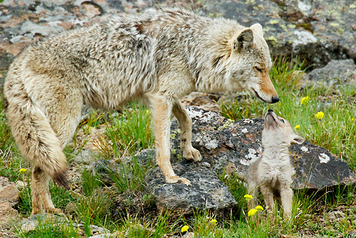 WLD 08 TL0013 01 © Kimball Stock Coyote Mother Stepping On Rock By Pup