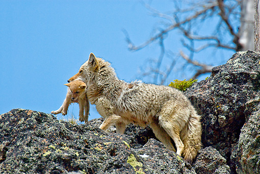 WLD 08 TL0014 01 © Kimball Stock Coyote Mother Moving Pup On Rocky Hill Blue Sky