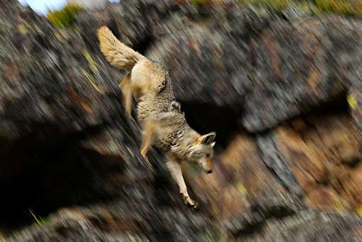 WLD 08 TL0015 01 © Kimball Stock Coyote Climbing Down Rocks Blurred Motion