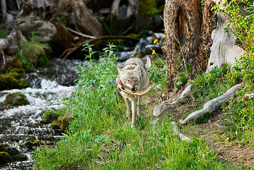 WLD 08 TL0016 01 © Kimball Stock Coyote Approaching Camera By Stream Holding Cutthroat Trout Rocky Mountains