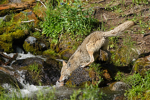 WLD 08 TL0017 01 © Kimball Stock Coyote Fishing In Stream For Cutthroat Trout Rocky Mountains