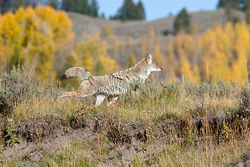 WLD 08 TL0019 01 © Kimball Stock Coyote Kicking Dirt After Marking Territory By Autumn Trees Hills